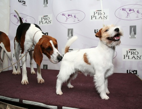 Tank, a Treeing Walker Coonhound (left) & Legs, the Jack Russell Terrier, NYC, Jan 28, 2013/Astrid Stawiarz, NPR