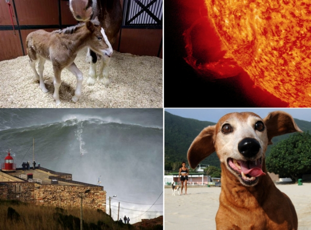 • Mother Clydesdale Darla & unnamed female foal, Warm Springs Ranch, Booneville, Mo., Jan 30, 2013/Jeff Roberson, AP  • Ring-shaped Coronal Mass Ejection (CME), Jan 31, 2013/NASA's Godard Space Flight Center, SDO   • Hawaiian surfer Garret McNamara rides mammoth wave off Portugal, Jan 28, 2013/AP, The Independent  • Unidentified Dachshund/Getty Images, HLN