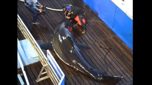 Scientists tag mature female Great White dubbed Mary Lee, Cape Cod, Massachusetts, Sept 18, 2012/Mike Estabrook, Ocearch, AP, Fox News