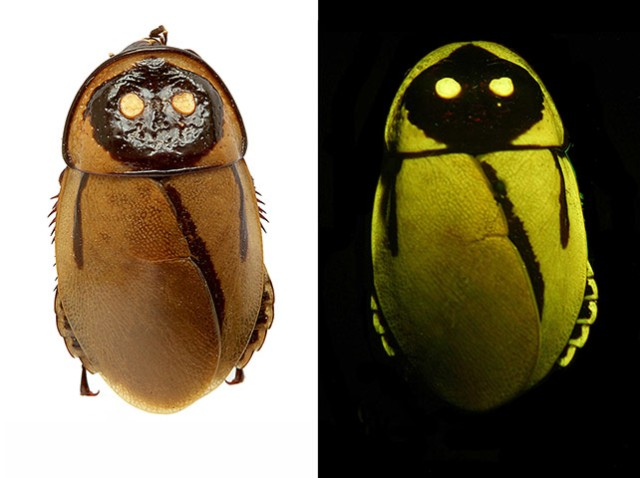 Glow-in-the-Dark Cockroach (Lucihormetica luckae), Ecuador/Peter Vrsansky & Dusan Chorvat, ASU, The Guardian