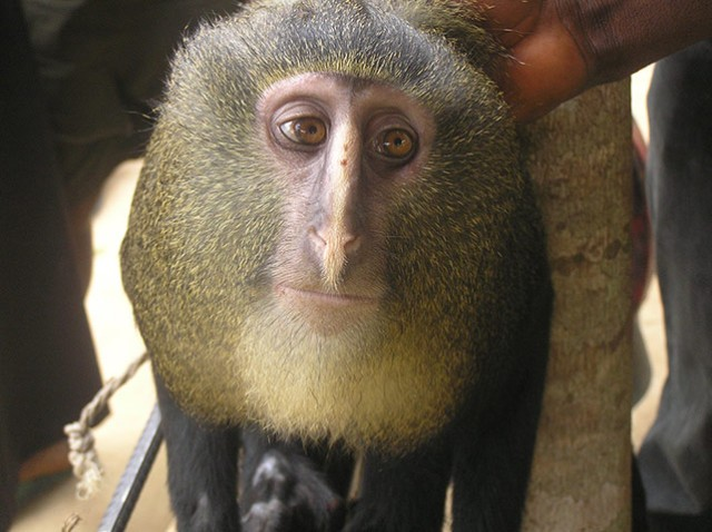 Lesula monkey (Cercopithecus lomamiensis), Democratic Republic of the Congo/Maurice Emetshu, ASU, The Guardian