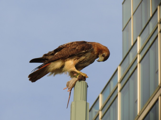 Red-tail hawk with prey, Hudson River Park, NYC, July 8, 2013/Keith Michael