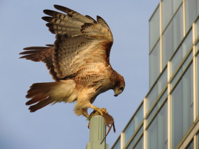 Red-tailed Hawk with prey, Hudson River Park, NYC, July 8, 2013/Keith Michael