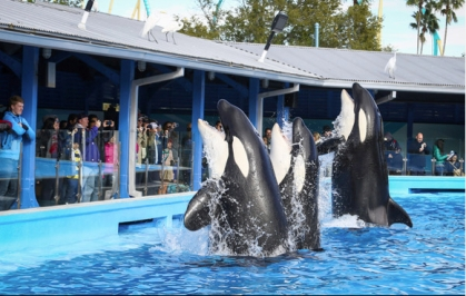 Unidentified captive orcas, SeaWorld Orlando, January 7 / Joshua C. Cruey, Orlando Sentinel / Click Image to see slideshow.