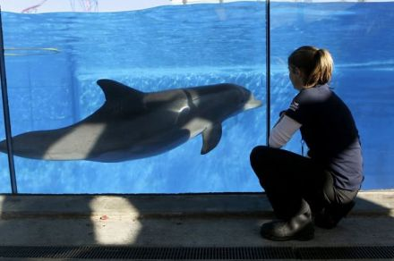 Bella, 9-year-old pregnant captive dolphin, and Sara Wielandt, Six Flags Discovery Kingdom, Vallejo, CA, undated / Paul Chinn, San Francisco Chronicle / Click image to view slideshow.