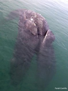Conjoined gray whale calves, deceased (heads submerged at bottom of image), Ojo de Liebre Lagoon, Baja, CA / Farah Castillo, Facebook, Guerrero Negro Verde, ABC.net.au / Click image to see and read more.
