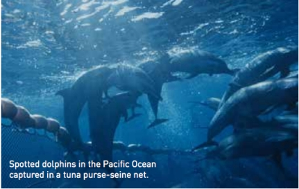 "Spotted dolphins in purse-seine tuna net, Pacific Ocean, undated/NOAA, SWSFC, NRDC.org / Click to go to NRDC report ""Net Loss: The Killing of Marine Mammals in Foreign Fisheries"""