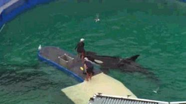 Lolita & Trainers, Miami Seaquarium, December 2014/CBS4 Miami Chopper 4/ Click for more