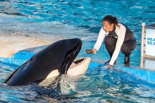 Lolita and unidentified trainer, Miami Seaquarium, undated/ventdusud, Shutterstock, Salon