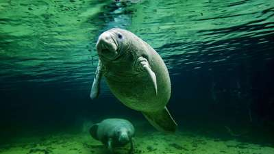 Manatee & calf, Crystal River, FL, undated/Rick Loomis, Los Angeles Times
