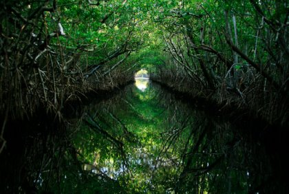 Mangrove Forest, Everglades, FL, undated/Barbara P. Fernandez, The New York Times