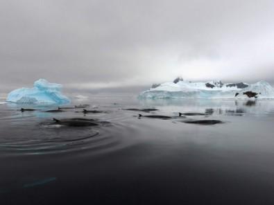 Minke whales, Antarctica, undated/Ari Friedlaender, Science
