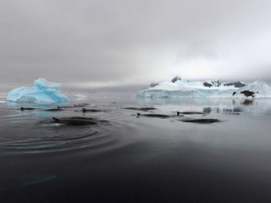 Minke whales, Antarctica, undated/Ari Friedlaender, Science