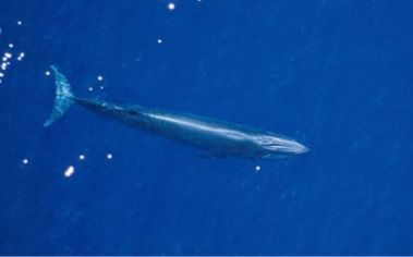 Newly discovered species of Bryde's whale, Gulf of Mexico, undated/ NOAA Southeast Fisheries Science Center, Chron