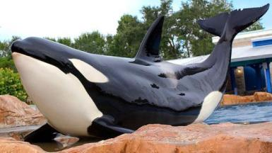 Unidentified captive orca / Orlando Business Journal / Click image to read more.
