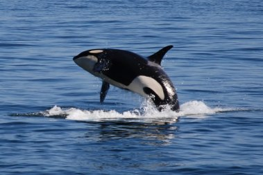 Wild orca, location and date unknown/Miles Ritter, Flickr, Earth Island Journal