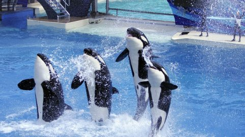 Orcas perform at SeaWorld San Diego, 2011/John Gastaldo, U-T San Diego