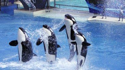 Captive performing orcas, SeaWorld San Diego, undated/U-T San Diego