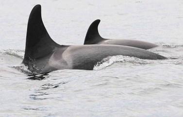 "Killer whale ""Springer"" (A73) and 1.5-year-old calf (A104), Fitz Hugh Sound, BC, June, 2014/Vancouver Aquarium"