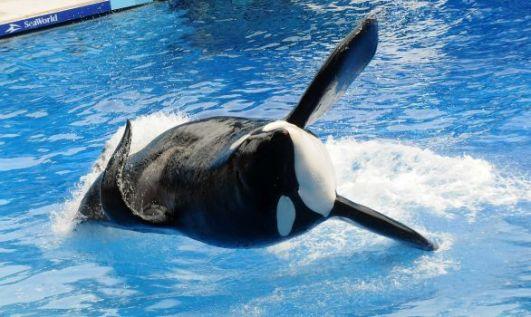 Tilikum, SeaWorld Orlando, undated/Gerardo Mora, Getty, San Antonio Express-News