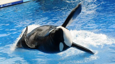 Tilikum, SeaWorld Orlando, undated/Getty, The Independent