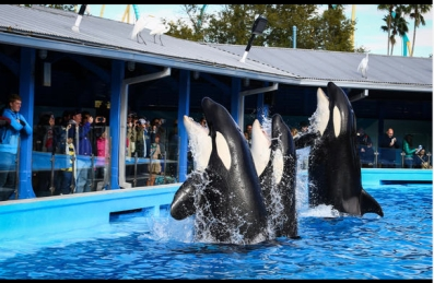 """Shamu Up Close,"" Sea World Orlando, Jan 7, 2014/Joshua C. Cruey, Orlando Sentinel"