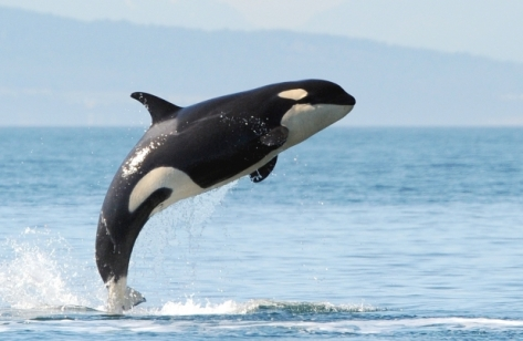 Wild orca, location and date unknown / The Vancouver Sun