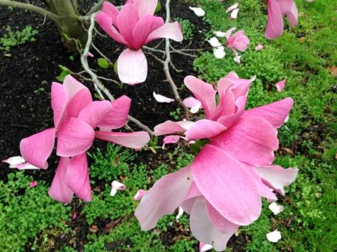 Magnolias, Barnes Museum, Philadelphia, PA/GK Wallace