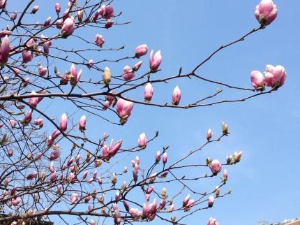 Magnolias, Jackson Square, Greenwich Village, NYC/GK Wallace