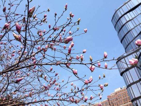 Magnolias, Jackson Square, Greenwich Village, NYC/GK Wallacee
