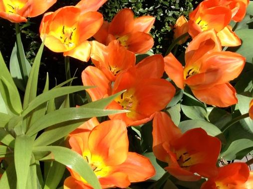 Tulips, Greenwich Village, NYC/GK Wallace
