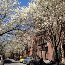 Callery Pear, Greenwich Village, NYC/GK Wallace