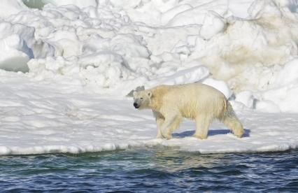 Polar Bear, Chukchi Sea, Alaska, June 15, 2014 / Brian Battaile, USGS, AP, The Washington Post / Click to learn more.