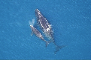 Right whale, undated / Virginia Chapter Sierra Club, NOAA NMFS / Click to learn more.