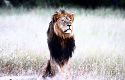 Cecil, the Black-Maned Lion (RIP), Zimbabwe National Parks & Game Reserves / Facebook, Takepart / Click for more.