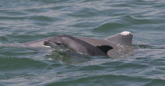 Bottlenose dolphin mother and calf, Gulf of Mexico, undated / NOAA, Wisconsin Gazette / Click to learn more.