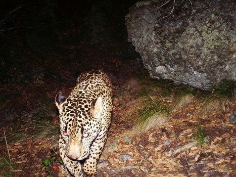 El Jefe on remote-sensor camera, April 28, 2015 / Russ McSpadden, Conservation Catalyst and the Center for Biological Diversity / Click to learn more.