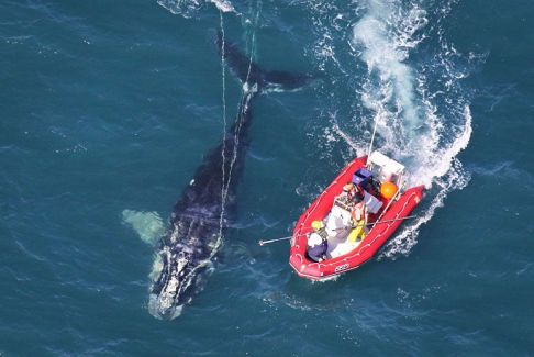 NOAA scientists try to free entangled right whale off Cape Canaveral, FL, Jan 15, 2013 / NOAA News Archive, Flickr, take part / Click to learn more.
