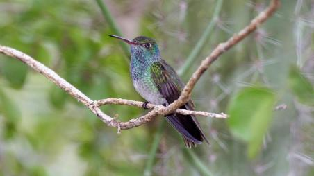 Honduran Emerald Hummingbird / Dominic Sherony, Wikicommons, Nature / Click for more.