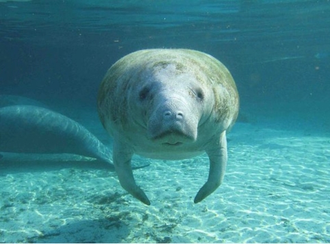 Manatee, location & date unknown /  U.S. Geological Survey, DiscoveryNews.com / Click for more.