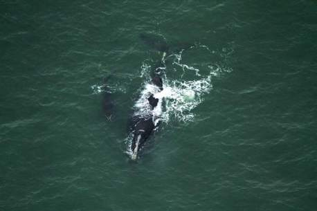 North American Right Whale mother and calf off Ponte Vedra Beach, FL , December 22, 2015 / Florida Fish and Wildlife Conservation Commission, The Daytona Beach News-Journal / Click to learn more.