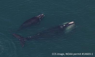 Right whale and calf, Cape Cod Bay, 2016 / Center for Coastal Studies, NOAA Permit # 14603-1, Wicked Local Provincetown / Click to learn more.