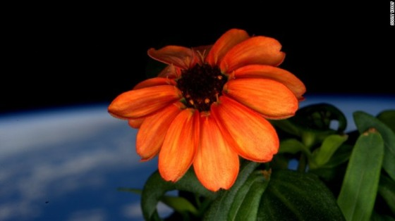 Zinnea blooms in space, January 16, 2016 / Scott Kelly, ISS, NASA / Click for more.
