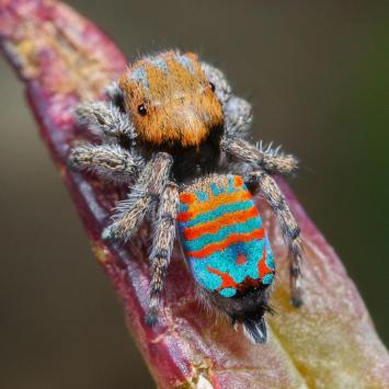 Sparklemuffin, the Australian Peacock Spider / Jurgen Otto, Newsweek / Click for more.