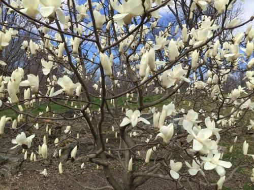 Magnolia Grove, New York Botanical Garden, Bronx, NY, March 26, 2016 / GK Wallace