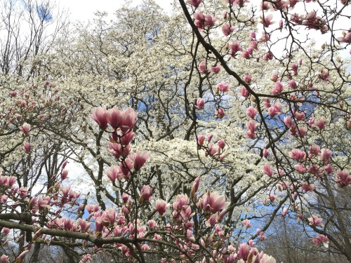 Magnolia Grove, New York Botanical Garden, Bronx NY, March 26, 2016 / GK Wallace