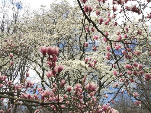 Magnolia Grove, New York Botanical Garden, Bronx NY, March 26, 2016 / GK Wallace