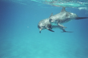Spotted dolphins, Bahamas, undated / GK Wallace