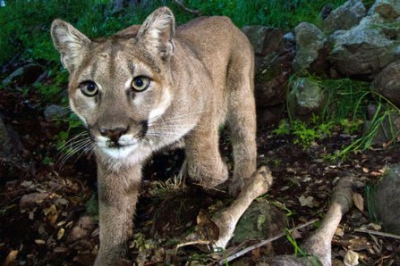 Remote-camera image of female western cougar, Santa Monica Mountains, February 2015 / National Park Service, AP, The Christian Science Monitor / Click to enlarge and learn more.