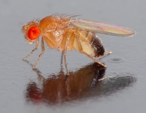 Drosophila melanogaster fly / André Karwath, Wikipedia / Click to enlarge.
